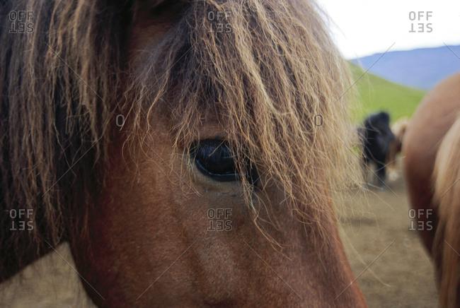 Iceland: Icelandic pony, close-up