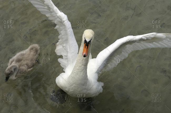 Denmark, Copenhagen: Swan flaps her wing next to baby swan