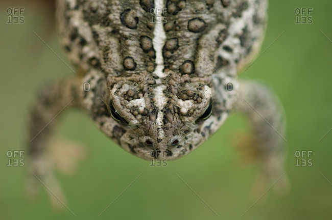 A toad hangs in the air by his back legs