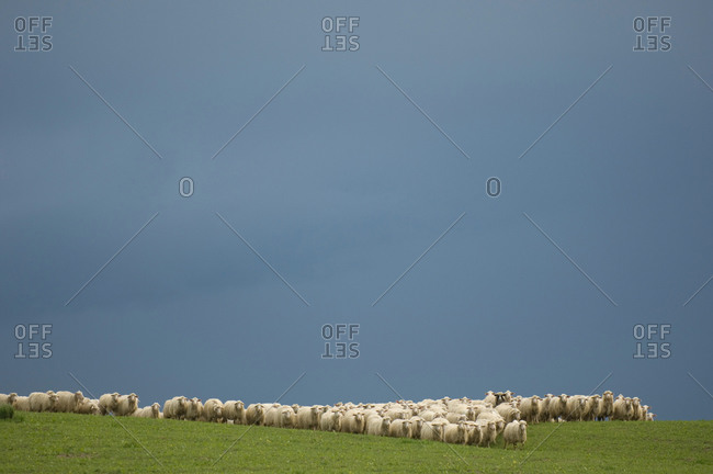 A herd of sheep congregate on the hillsides near Pienza, Italy