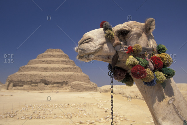 Face of a camel in front of a pyramid in Egypt