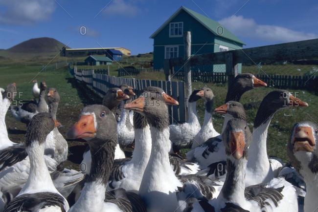 Iceland: Geese on a farm