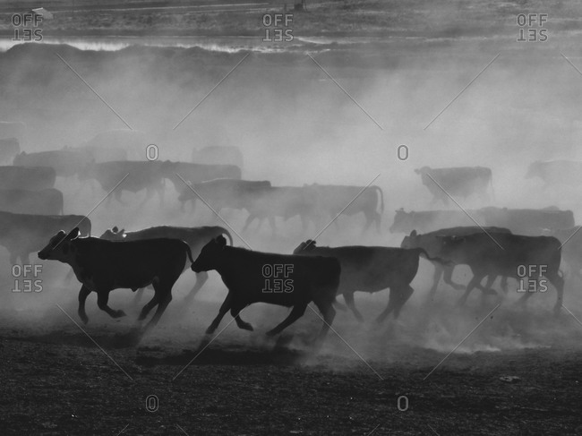 United States, Kansas: Cattle running in feed lot
