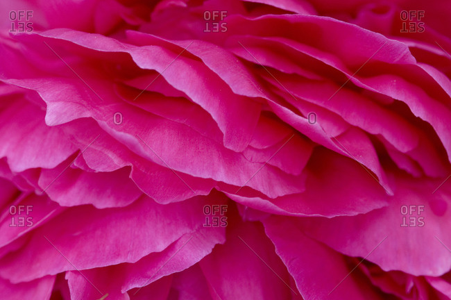 Close view of petals of a peony flower