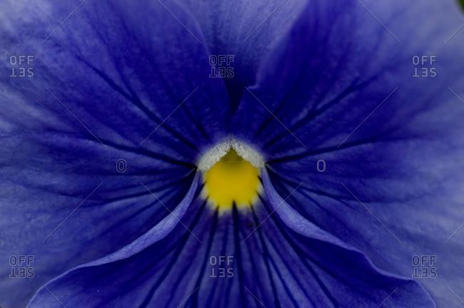 Close view of blue petunia