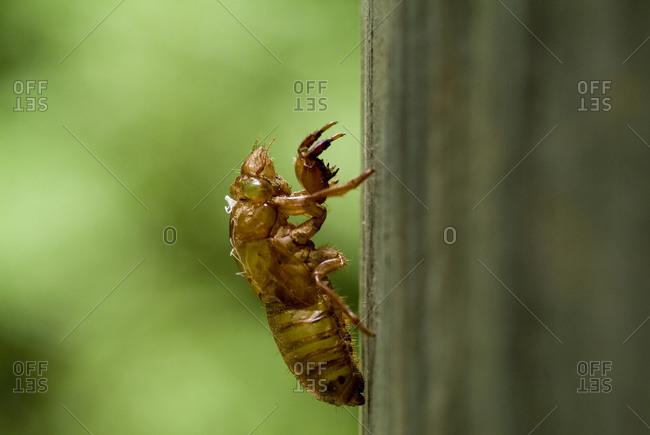 Shedded skin of 17 year cicada on a tree