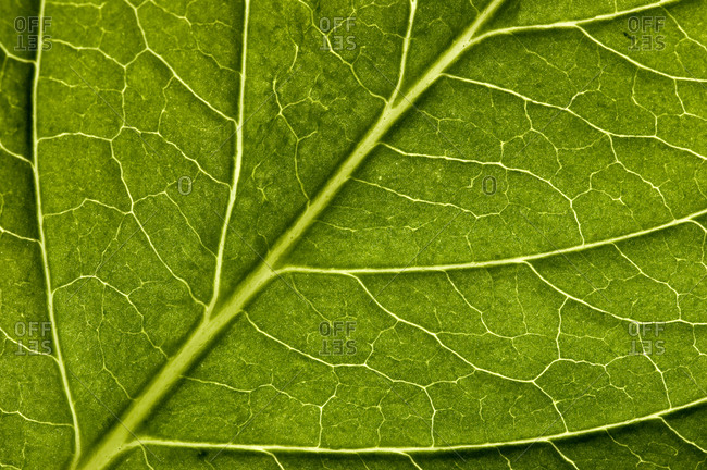 Close view of a hydrangea leaf