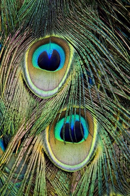 Peacock (Pavo cristatus) feather detail