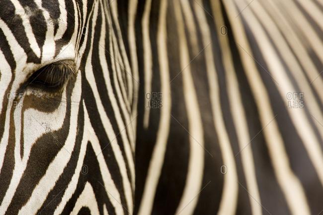 Closeup of a Grevys Zebra's face and coat (Equus grevyi)