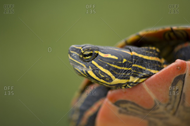 A pond turtle in Burwell, NE