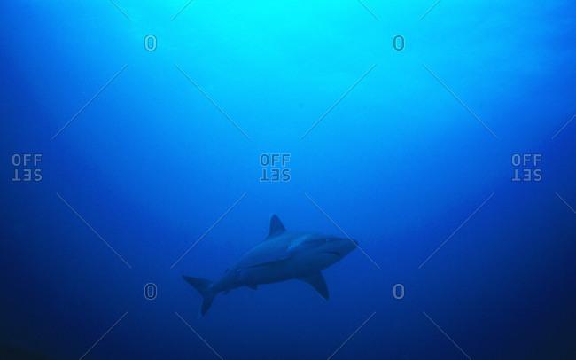 silvertip shark free swimming Carcharhnus albimarginatus