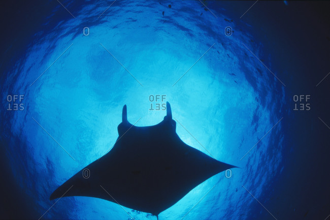 Giant Pacific Manta Ray silhouette, Manta birostris