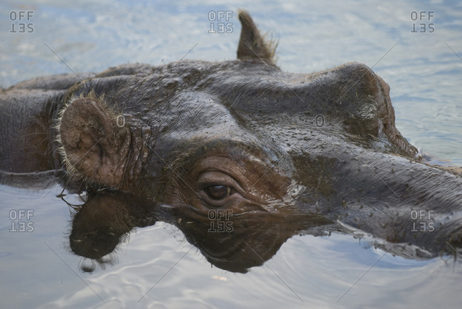 A hippopotamus goes for a swim