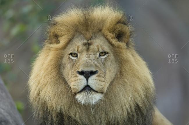 A portrait of an African lion