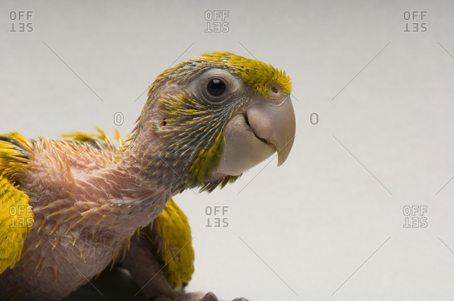 A studio portrait of a five-week-old golden conure
