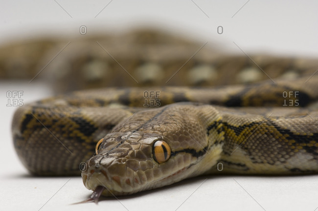 A juvenile reticulated python