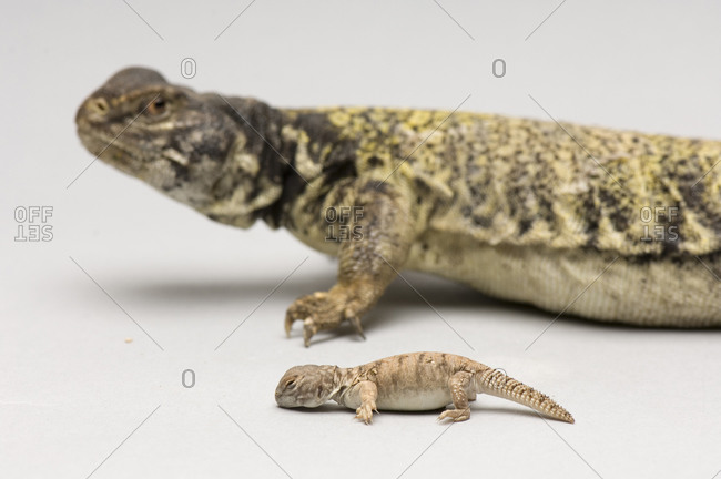 A brush-tailed lizard