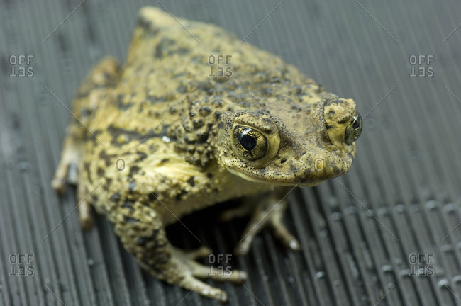 A Puerto Rican crested toad (Bufo lemur)