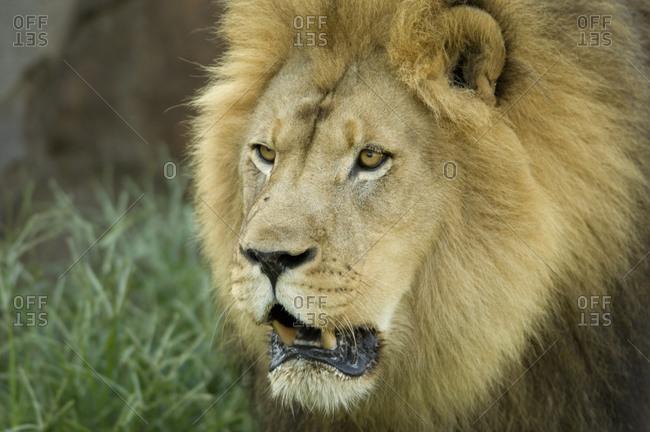 An African lion (Panthera leo krugeri)