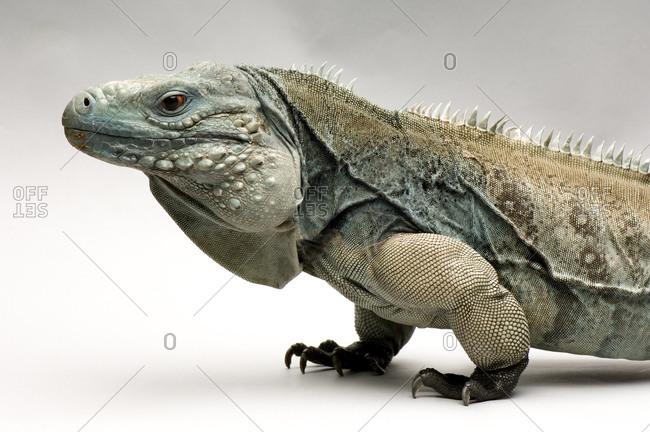 A portrait of a Grand Cayman blue iguana