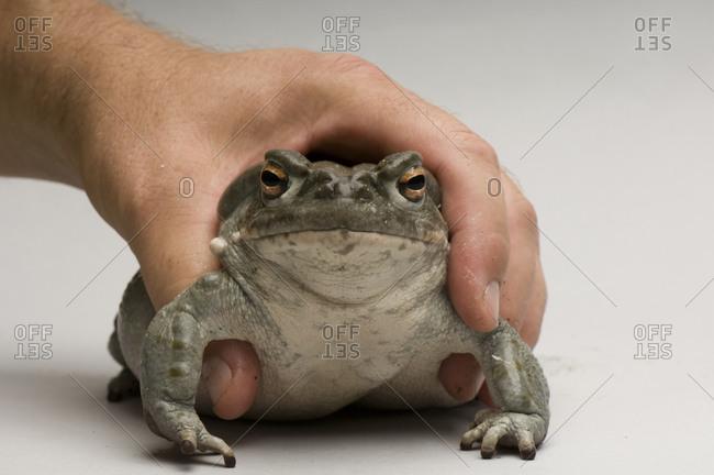 A Colorado River Toad (Bufo alvarius)