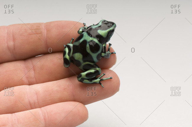 A Green-and-black poison dart frog (Dendrobates auratus)