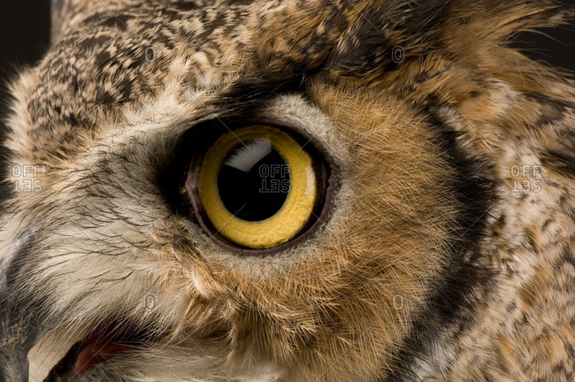 A portrait of a great horned owl (Bubo virginianus)