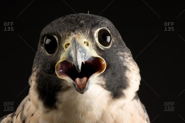 A portrait of a peregrine falcon (Falco peregrinus)