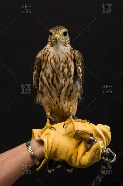 A merlin (Falco columbarius)