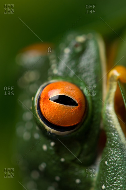 A red-eyed tree frog (Agalychnis callidryas)