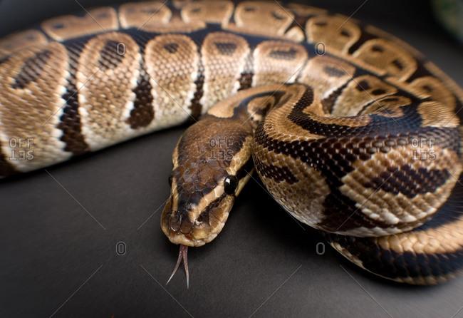 A ball python (Python regius)
