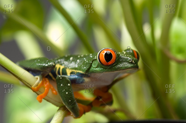 A red-eyed tree frog (Agalychnis callidryas)