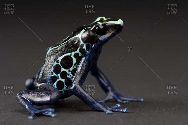 A blue and yellow poison dart frog (Dendrobates tinctorius)