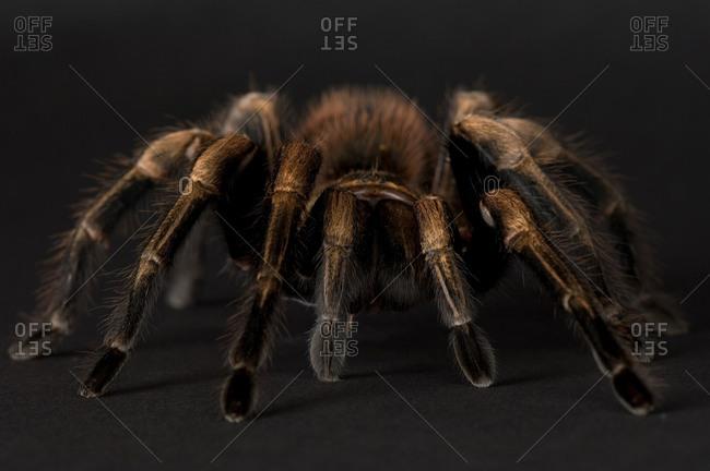 A Mexican blonde tarantula (Aphonopelma chalcodes)