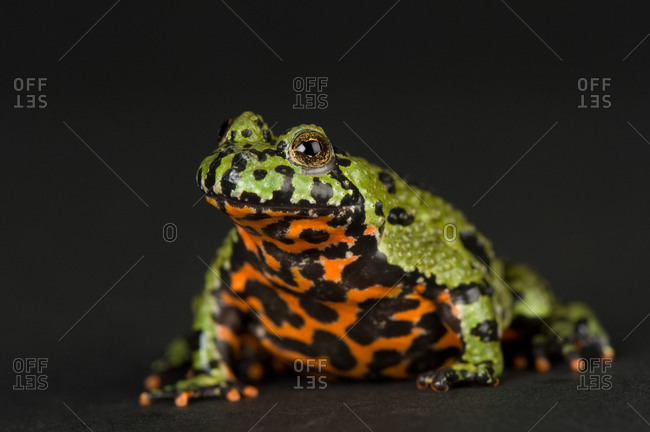 A fire-bellied toad (Bombina orientalis)