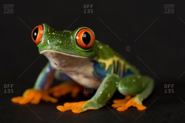 A red-eyed tree frog (Agalychnis callidryas),