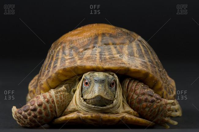 Ornate box turtles (Terrapene ornata)