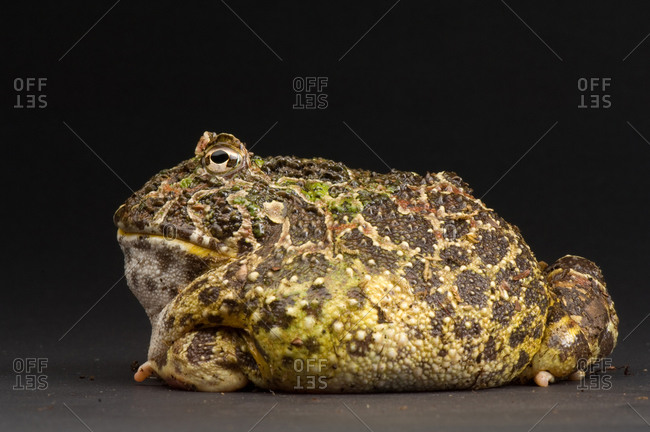 A Chacoan Horned Frog