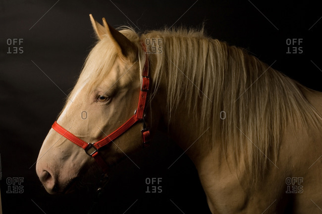 An American cream draft horse, a rare breed