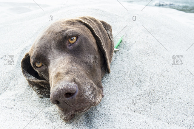 A dog buried in the sand.