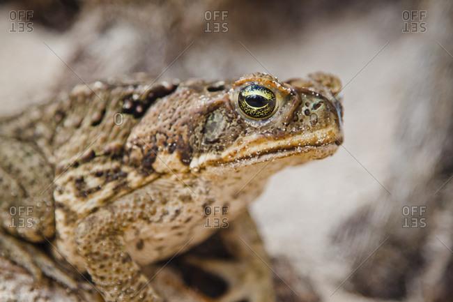 Barbados Cane Toad