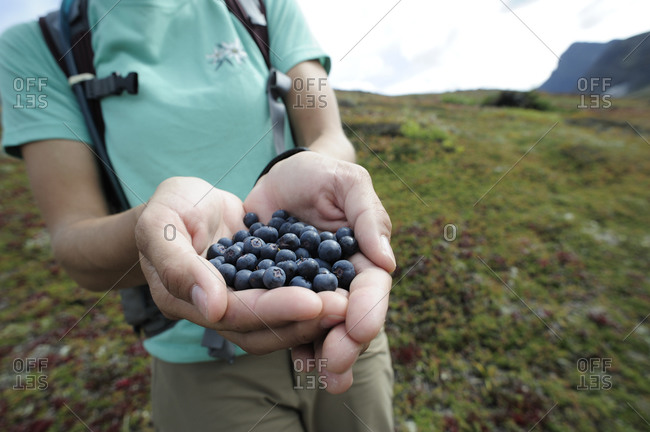 Backpacker with blueberries in Chugach State Park near Anchorage, Alaska.