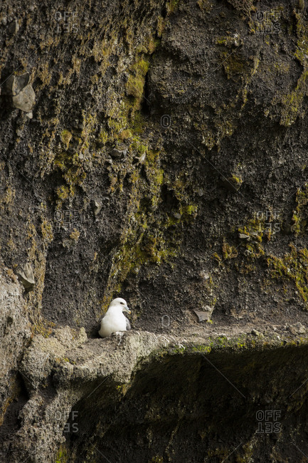 Northern fulmar in Iceland