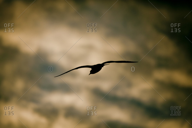 Silhouette of seagull flying in sunset sky