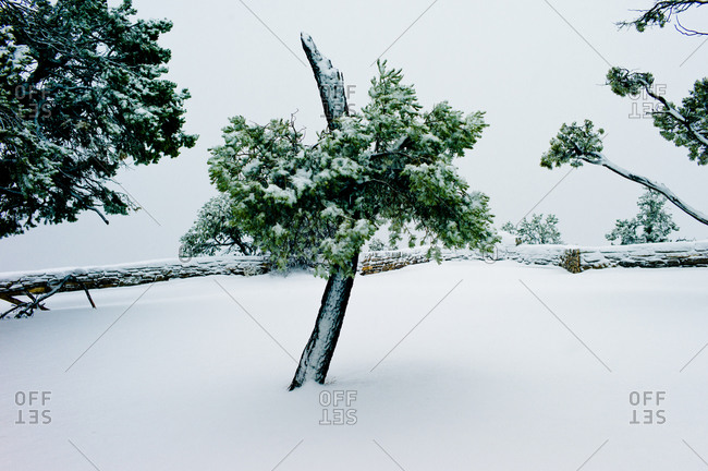 Pine tree in fresh snow