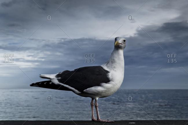 Portrait of seagull standing still