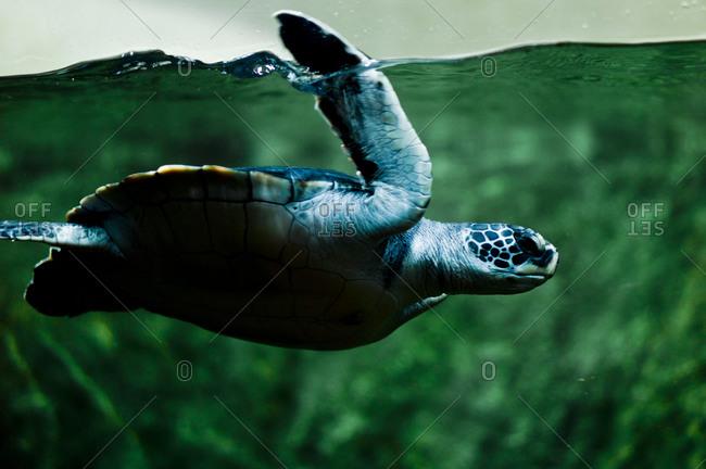 Portrait of sea turtle swimming in aquarium