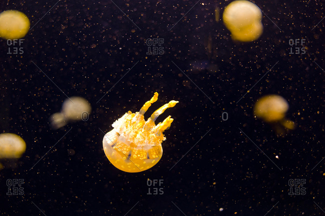 Colorful jellyfishes floating underwater