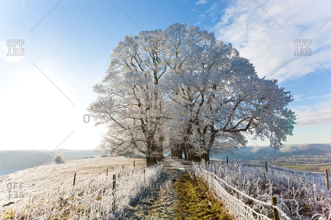 Snow covered tree on Downham Hill in Uley, Gloucestershire, UK