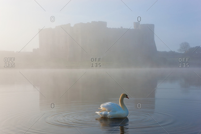 Swan floating on millpond of  Carew Castle in Pembrokeshire Coast National Park, Wales